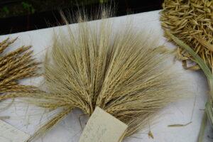 Bollheimer Getreideentwicklung