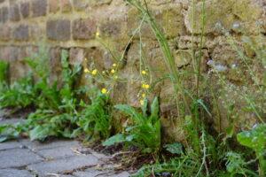 Bollheimer Mauerblumen