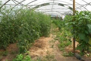 Blick in ein Bollheimer Gewächshaus mit Tomaten
