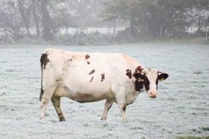 Bollheimer Kuh auf Weide im Nebel