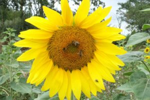Sonnenblume auf Haus Bollheim