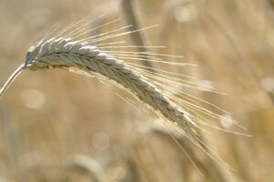 Bollheimer Getreide aus dem Zuchtgarten